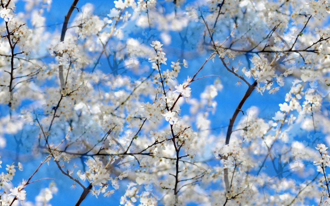 Cherry Blossom Spring Flowers Brain Injury Association Of New York
